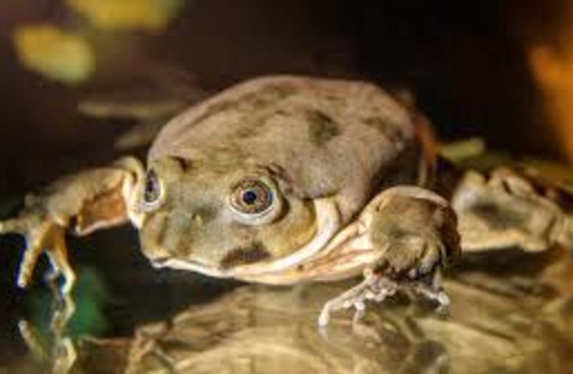 """Telmatobius culeus, also known as the Titicaca water frog and the """"scrotum frog."""" (photo credit: Wikimedia Commons)"""