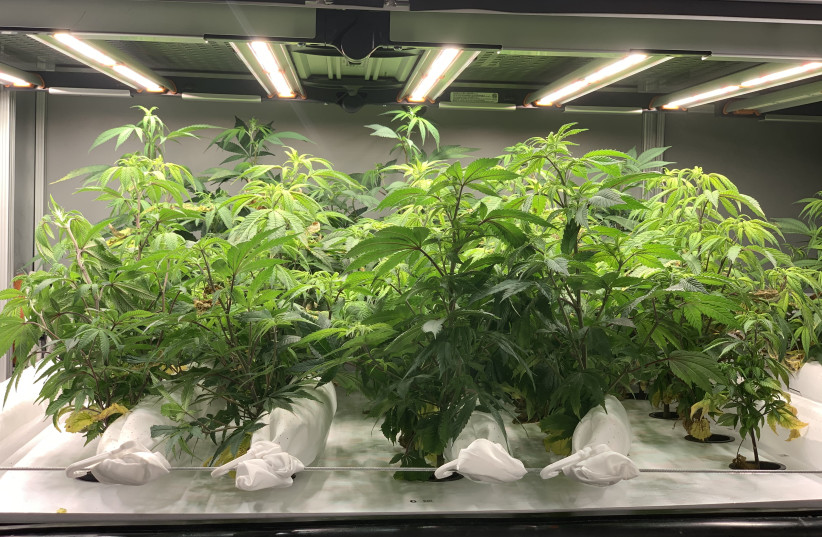 Cannabis plants grown in the Hortica lab (photo credit: Courtesy)