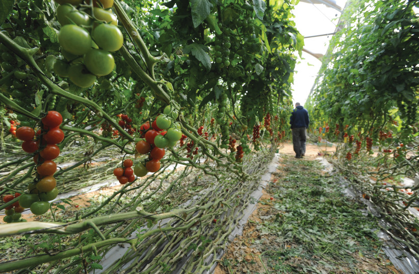 A MODERN-DAY farmer inspects the condition of his cherry tomatoes in Kadesh Barnea – where the Bible indicates the spies were sent from. (photo credit: GILI YAARI/FLASH90)