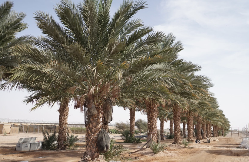 Palm trees grow at an R&D station in Israel's Arava region (photo credit: JNF USA)