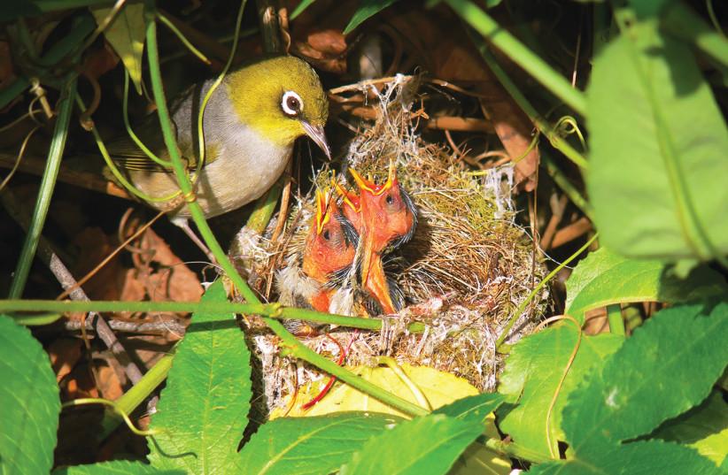 A SILVEREYE feeds its chicks (photo credit: Wikimedia Commons)