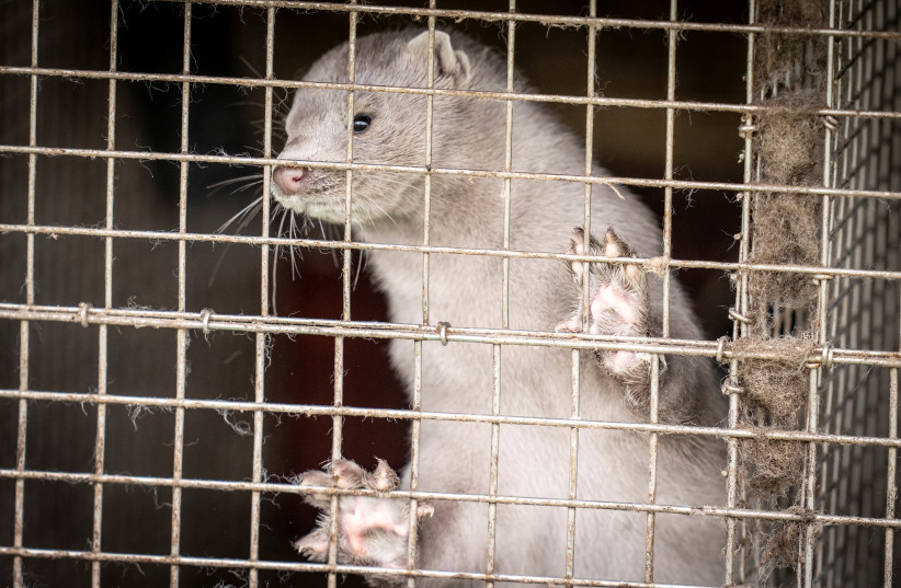A caged mink looks on, amid the coronavirus outbreak, at a mink farm in Hjoerring in North Jutland, Denmark October 8, 2020 (photo credit: RITZAU SCANPIX/MADS CLAUS RASMUSSEN VIA REUTERS)