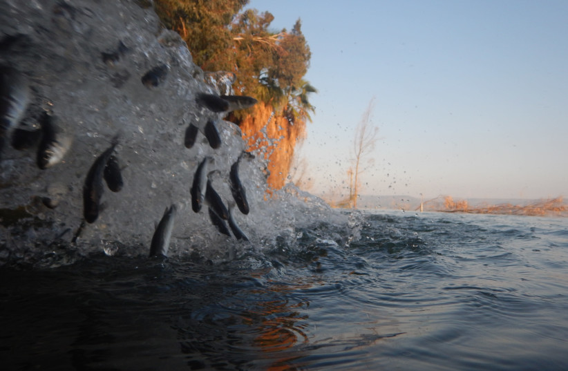 Some 50,000  flathead grey mullets found a new home in the Kinneret, December 2, 2020 (photo credit: GUY RUBINSTEIN)