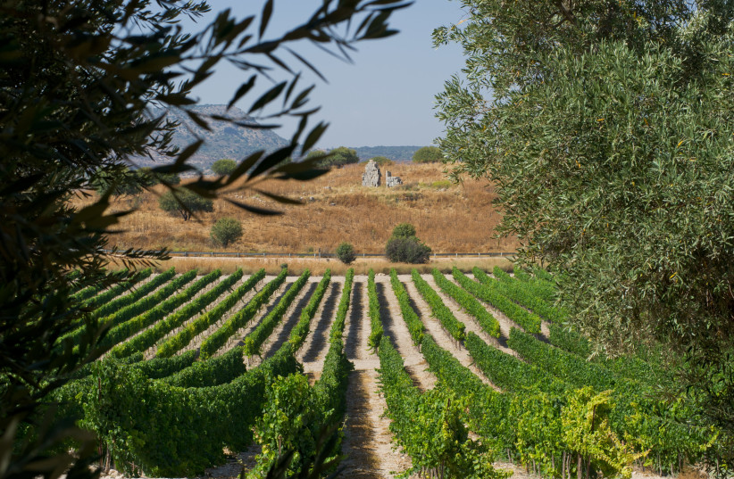 THROUGHOUT ISRAEL, the vine and olive tree grow together, as can be seen in the Upper Galilee. (photo credit: CARMEL WINERY)