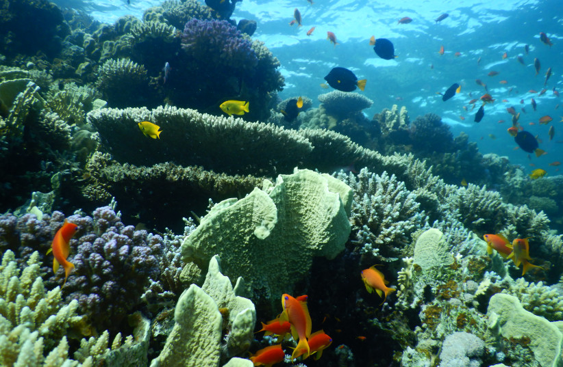 Coral reefs of the Red Sea (photo credit: PROF. MAOZ FINE)