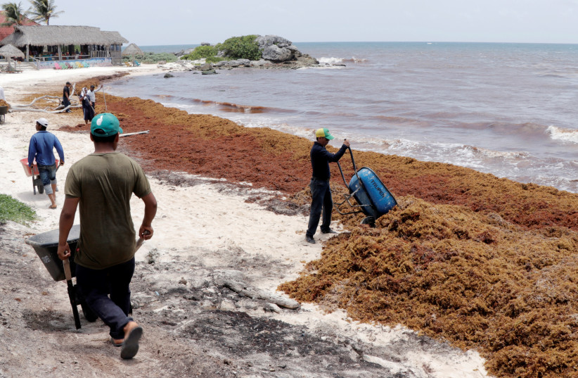 Workers clear Sargassum algae along the beach. Maof Holdings was able to offer an innovative solution to a plague that had been damaging tourism in the Caribbean for years. (photo credit: Courtesy)