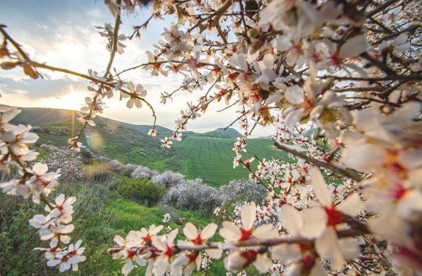 ALMOND TREES blossom on the Golan Heights (photo credit: MAOR KINSBURSKY/FLASH90)