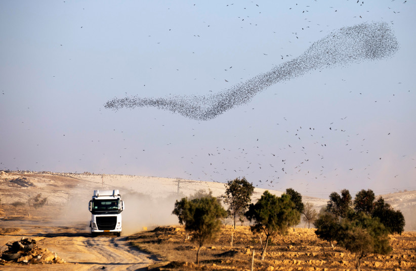 A murmuration of starlings fly above a garbage dump near Beersheba (photo credit: AMIR COHEN/REUTERS)