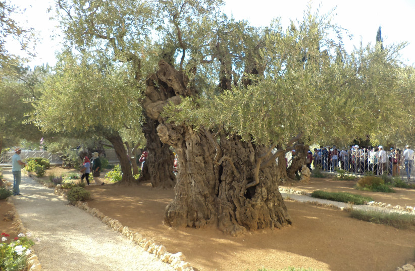 THE ANCIENT olive tree in Jerusalem's Garden of Gethsemane.  (photo credit: Wikimedia Commons)