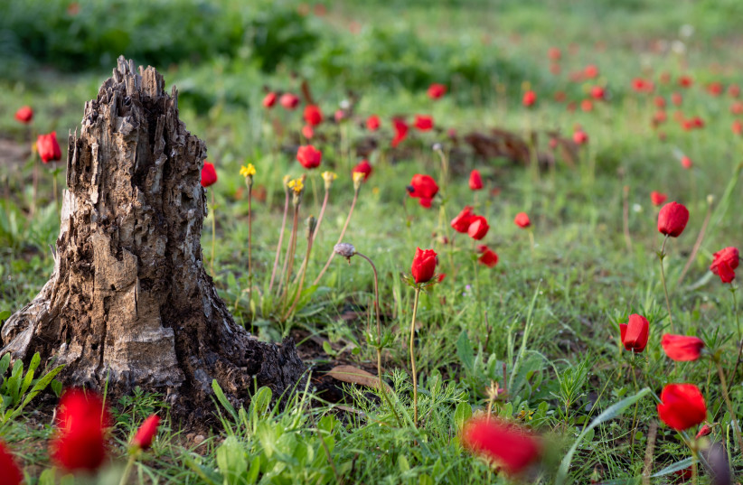 WITH SHVAT, nature rouses itself.  (photo credit: MILA AVIV/FLASH90)