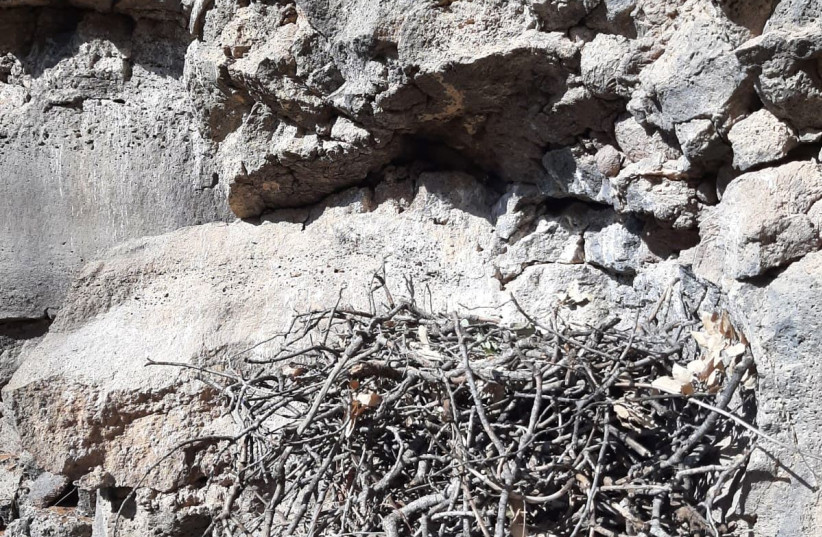 Bonelli's Eagle's nest where the eggs were rescued.  (photo credit: HANOCH TAL/NATURE AND PARKS AUTHORITY/POLICE SPOKEPERSON)