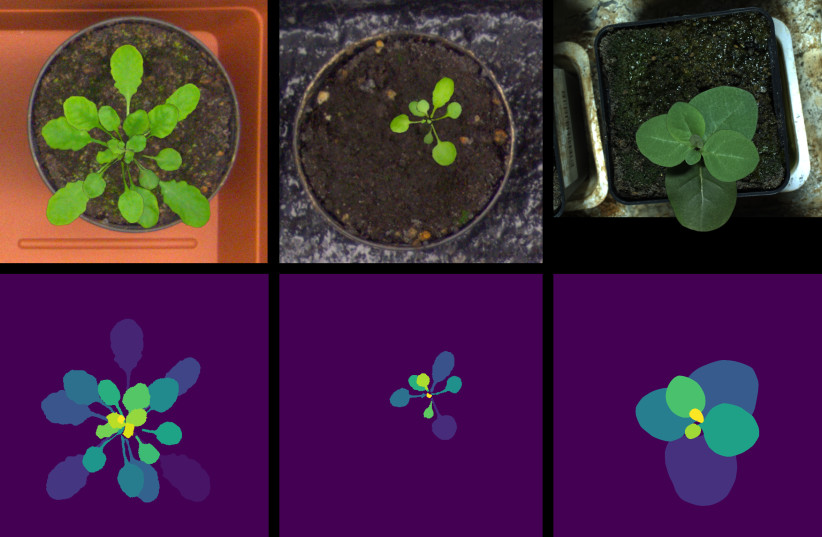 Artificial images of tobacco plants (right) and two Arabidopsis species (middle, left). The top row presents the artificial images, and the bottom row – the leaf masks. By creating a large quantity of artificial (synthetic) leaf images deep neural networks can be trained, thus providing for better l (photo credit: TECHNION)