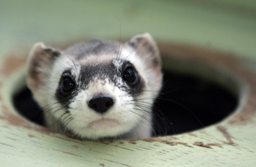 Bert, a male black-footed ferret peers out from a burrow in a cage at the US Fish and Wildlife Service National Black-footed Ferret Conservation Center in Wellington, Colorado April 11, 2007. By 1980 it was believed that the black-footed ferret was extinct when a group of only 18 was discovered in W (photo credit: REUTERS/RICK WILKING/FILE PHOTO)