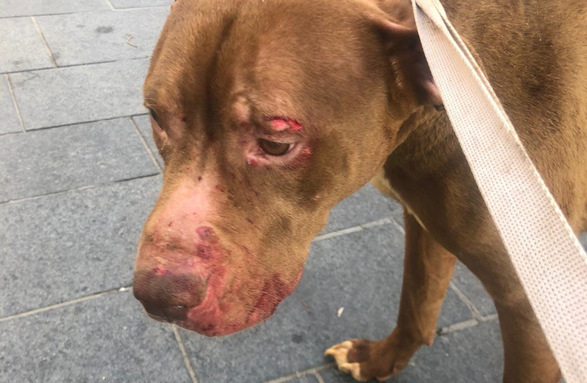 The dog found abused in an apartment in central Jerusalem (photo credit: POLICE SPOKESPERSON'S UNIT)