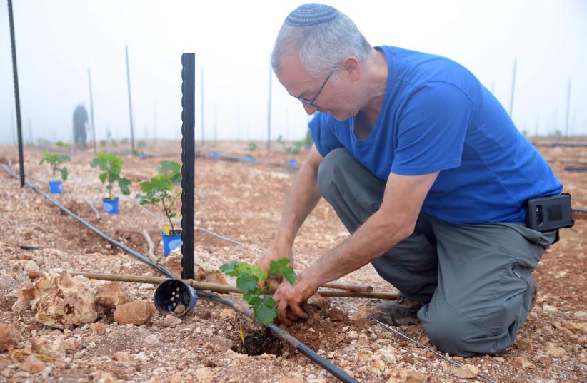 Amichai Lourie of Shiloh Winery plants a vine (photo credit: SHILOH WINERY)