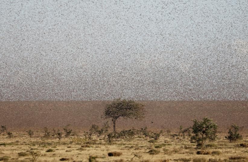 A swarm of desert locusts fly near the town of Rumuruti, Kenya, January 31, 2021. (photo credit: REUTERS/BAZ RATNER)