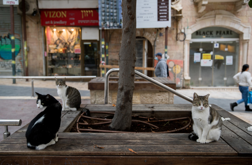 Cats sit on a bench in downtown Jerusalem, November 4, 2020. (photo credit: YONATAN SINDEL/FLASH 90)