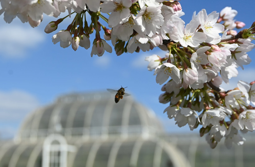 A bee collects pollen from cherry blossom at Royal Botanic Gardens, Kew, London (photo credit: REUTERS)