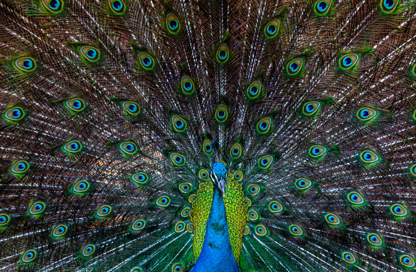 PRESENTING THE plumage. (photo credit: DORON HOROWITZ/FLASH90)