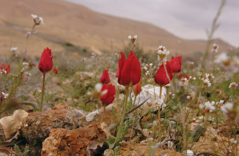 Tulips bloom in the high mountains of the Negev. (photo credit: YOSSI ZAMIR/FLASH90)