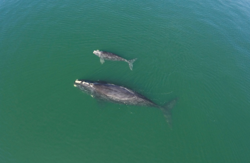 A NORTH ATLANTIC right whale and her calf are photographed by a drone operated by the Georgia Department of Natural Resources. (photo credit: GA DEPT. OF NATURAL RESOURCES/TNS)