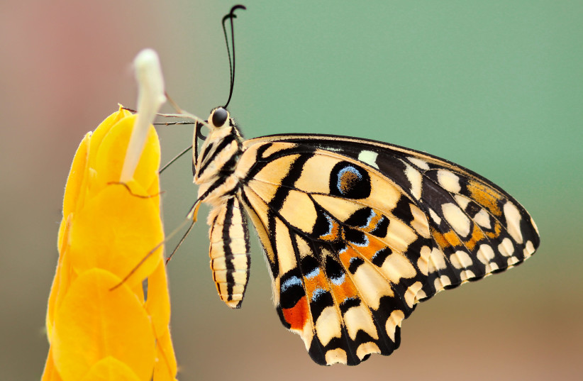 A FRIEND drew my attention today to a beautiful butterfly. (photo credit: BORIS SMOKROVIC/UNSPLASH)