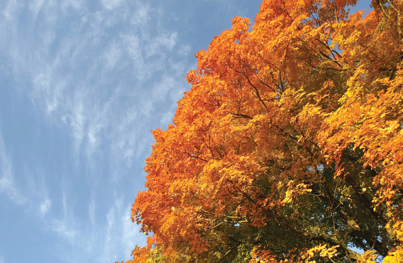 THE TURNING LEAVES of a maple tree are complemented by blue skies in Falls Village, Connecticut. (photo credit: JESSICA RINALDI / REUTERS)