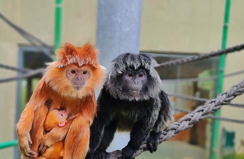 Saffron (L) and Liz care for the newly born baby Javan langur monkey at the Jerusalem Biblical Zoo. (photo credit: AVINOAM ZISSO/THE JERUSALEM BIBLICAL ZOO)