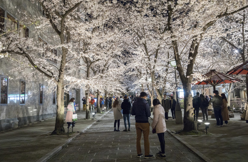 Kyoto and its cherry blossoms are well worth the visit (photo credit: ILAN ROGERS)