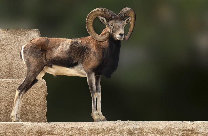 Ram. (photo credit: PIXABAY)