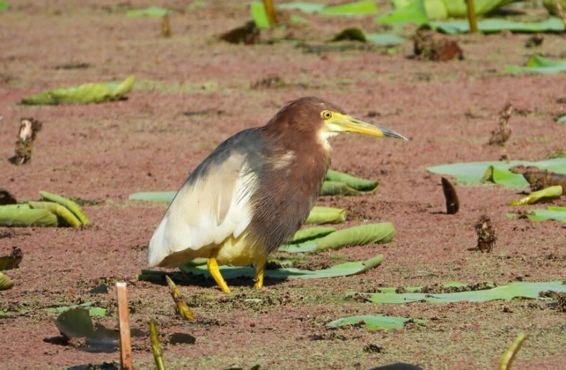 The Chinese Pond Heron. (photo credit: DEBBIE GREENBLAT/SOCIETY FOR PROTECTION OF NATURE IN ISRAEL)