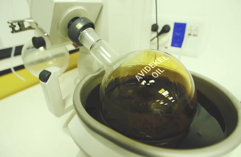 Avidekel oil, Tikun Olam Cannbit Pharmaceuticals. (photo credit: CLIPPER PRODUCTIONS)
