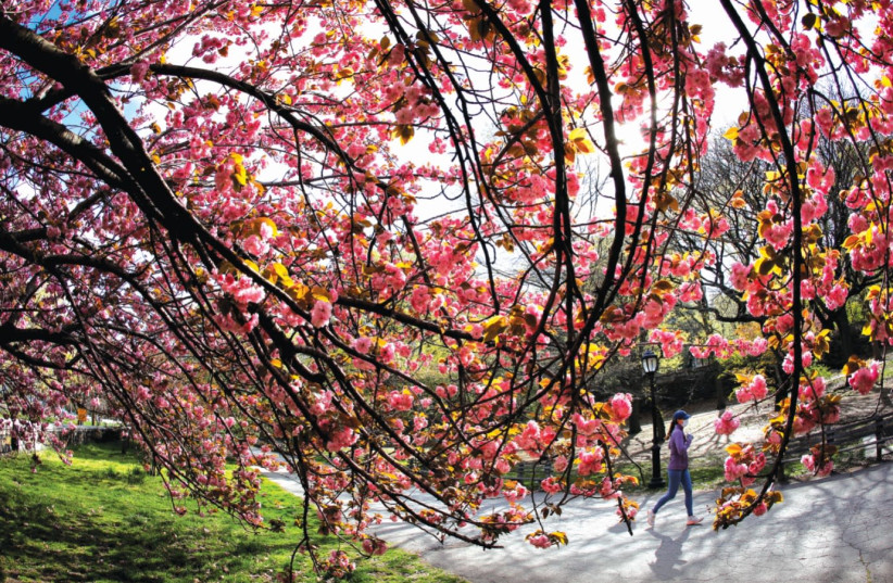 A woman jogs past blooming cherry trees on Earth Day in Riverside Park, New York City, April 22, 2021. (photo credit: MIKE SEGAR / REUTERS)