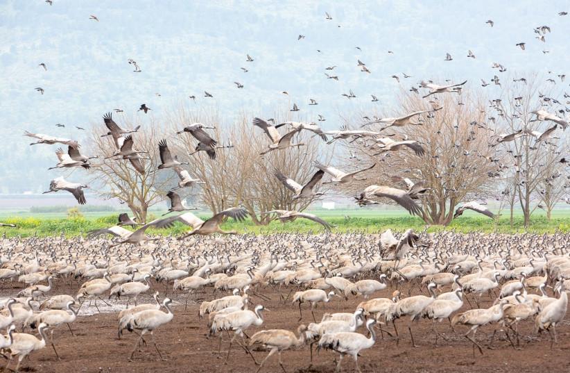 Migrating storks gather in Israel (photo credit: MICHAL GILADI)