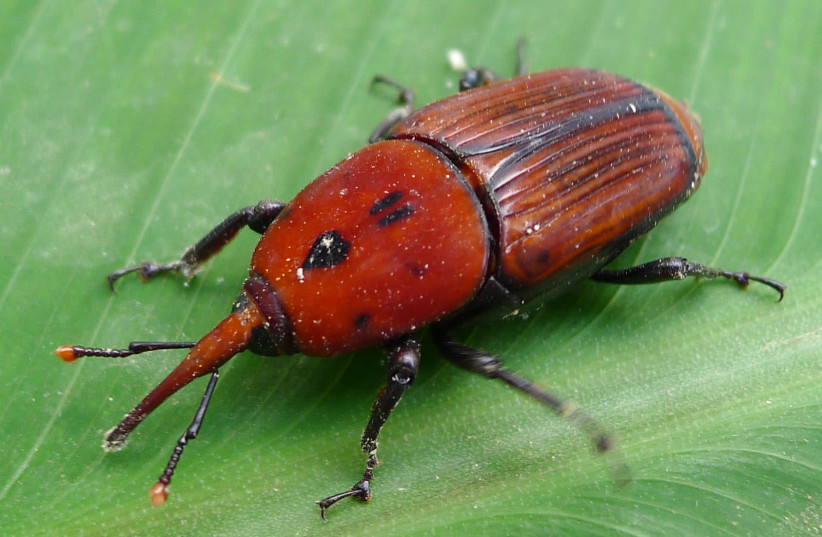 Red palm weevil. (photo credit: Wikimedia Commons)