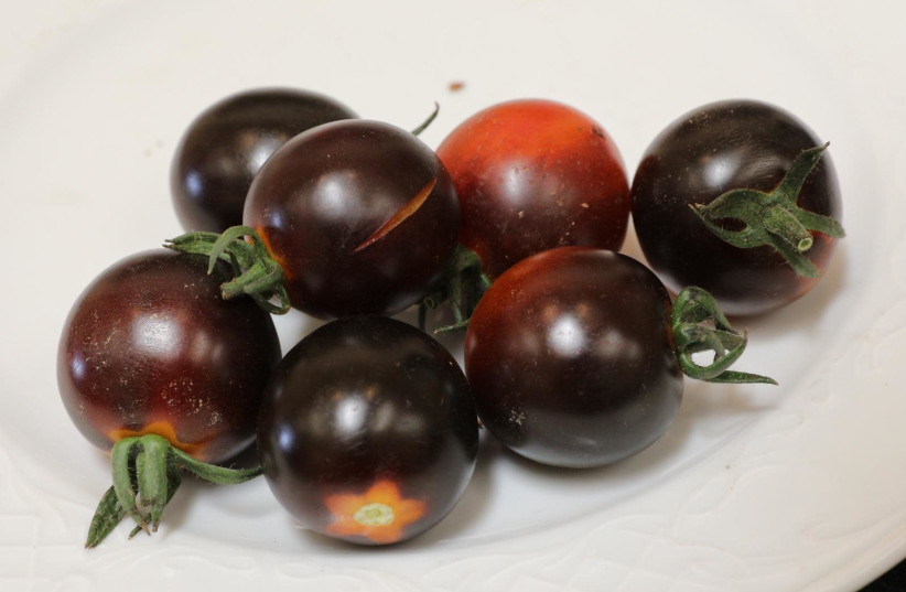 The award-winning Israeli black tomato. (photo credit: AGROMASHOV)