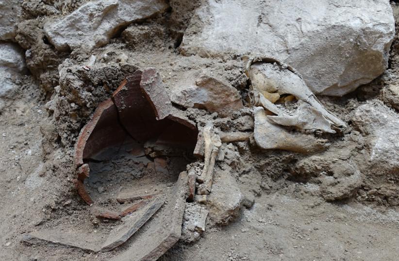 Um antigo esqueleto de porco é visto em Jerusalém, tendo sido descoberto em um prédio que data do Primeiro Templo.  (crédito da foto: OSCAR BEJERANO CORTESIA DA AUTORIDADE DE ANTIQUIDADES DE ISRAEL)