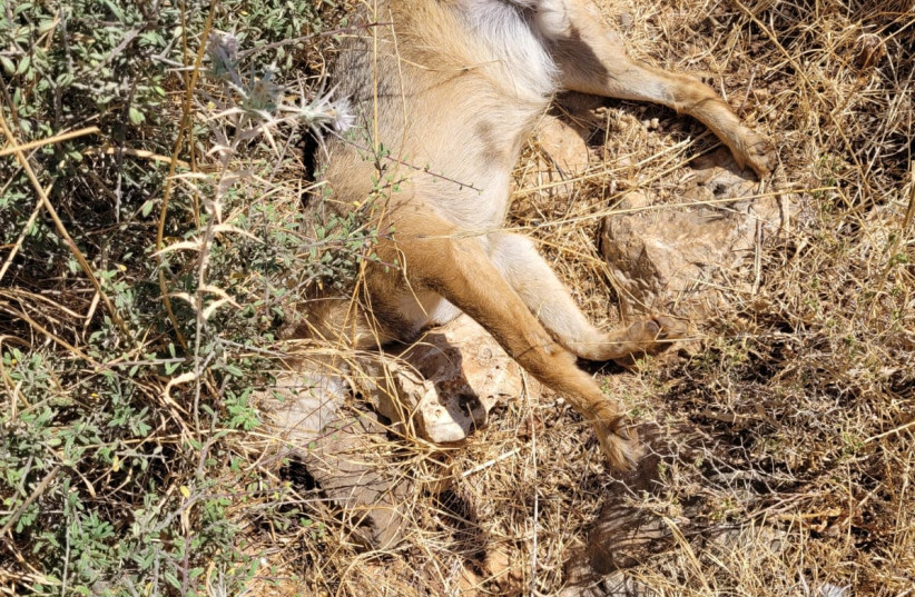 The carcass of a Jackal found in the Upper Galilee. (photo credit: GUY ZOHARONI /NATURE AND PARKS AUTHORITY)