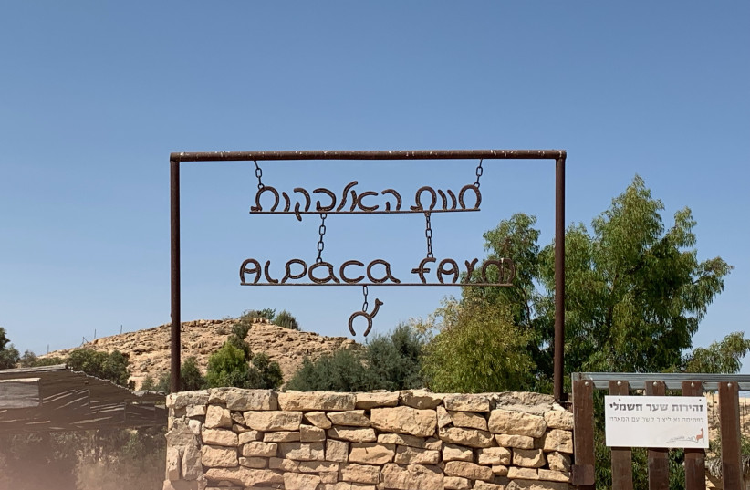 The Alpaca farm in Mitzpe Ramon (credit: Courtesy)