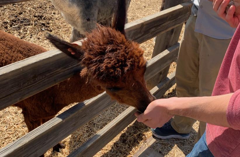 Feeding the llamas in Mitzpe Ramon (credit: Courtesy)
