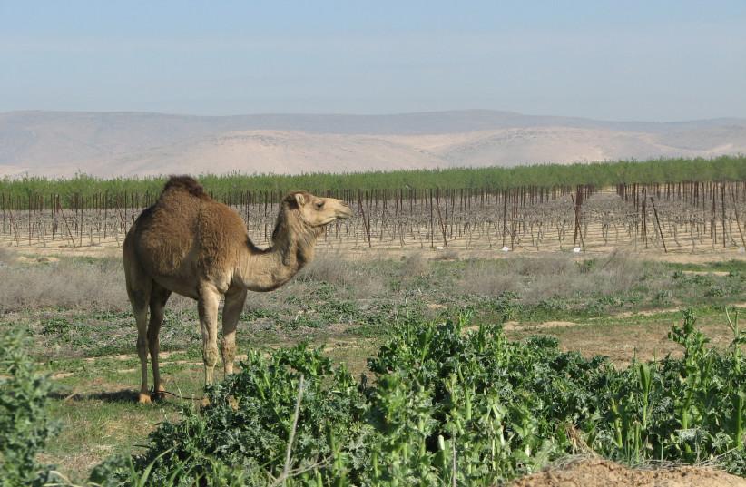 A HUMPED friend in the Ramat Arad vineyard, next to Yatir Winery in the  northeastern Negev.  (credit: YATIR WINERY)