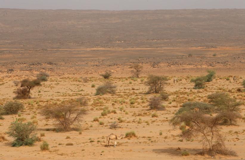 A camel seen at the Sahara Desert. (credit:              REUTERS/AHMED JADALLAH)