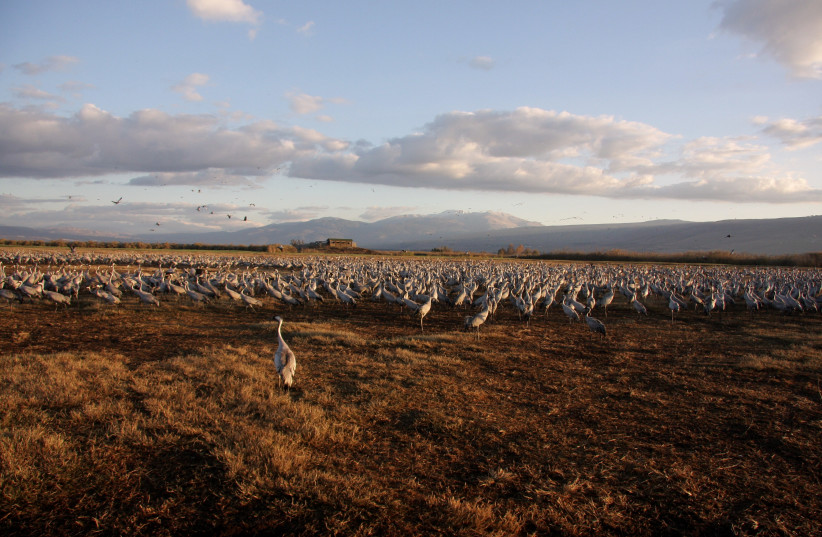Thousands of common cranes have flocked to the Hula Valley in Israel's North. (credit: JONATHAN MEIRAV / SPNI)