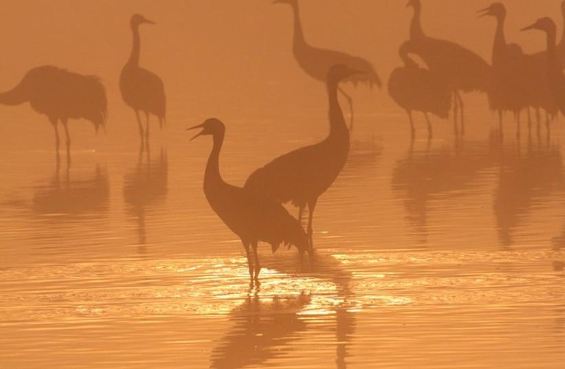 Cranes in the Hula Valley in northern Israel.  (Credit: Jonathan Merav/Spinney)