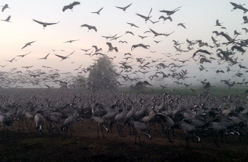 Thousands of shared cranes flocked to the Hula Valley in northern Israel.  (Credit: Jonathan Merav/Spinney)