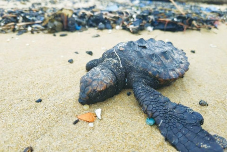 A turtle covered in tar is seen on an Israeli beach on February 19.