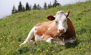 Cow illustrative