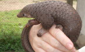 Pangolins, the most trafficked mammal in the world after humans, could be the cause of the coronavirus outbreak.
