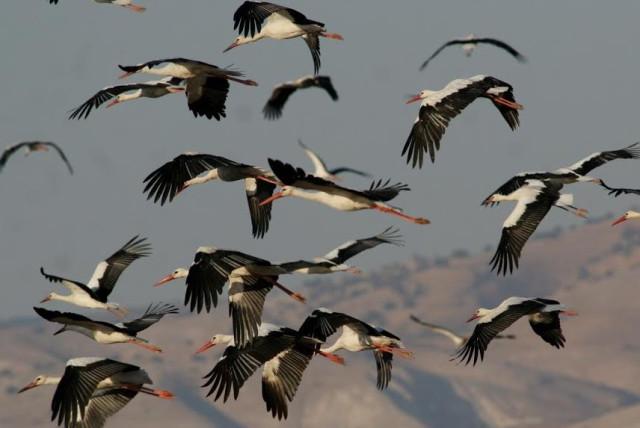Flock of storks  (photo credit: JONATHAN MERAV SPNI)