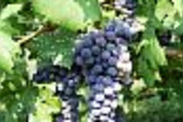 grapes 88 (photo credit:)
